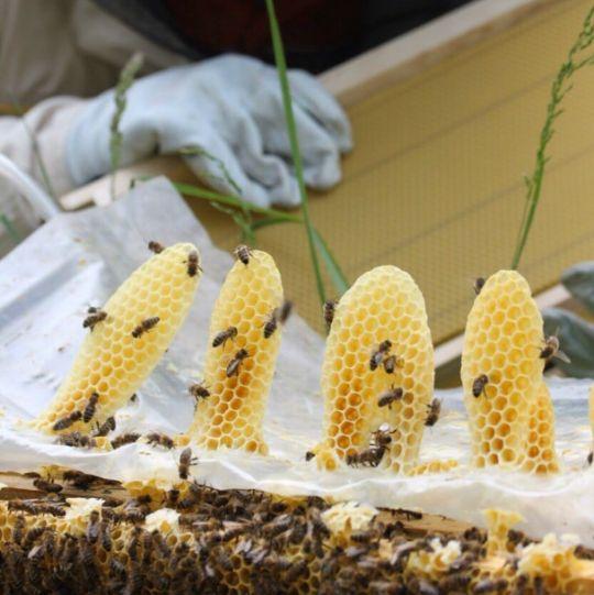 БАКФАСТ - трудолюбивая порода пчел для большого взятка