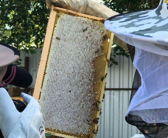 Пчелы пород Карника и Бакфаст производительнее, чем другие породы
