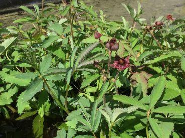 Лапчатка болотная (Сабельник болотный) (potentilla palustris)
