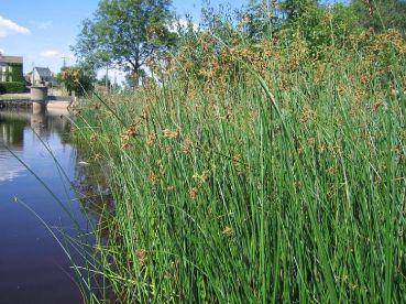 Камыш озерный (Schoenoplectus lacustris)
