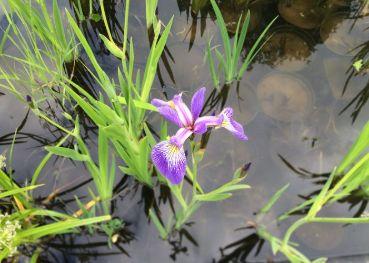 Ирис гладкий Роуз Квин (Iris laevigata Rose Queen)