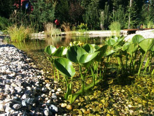 Подбираем растения для пруда правильно, определяемся с выбором