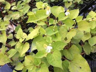 Хауттюйния сердцевидная (Houttuynia cordata)