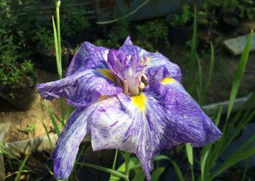 Ирис японский (Iris ensata)