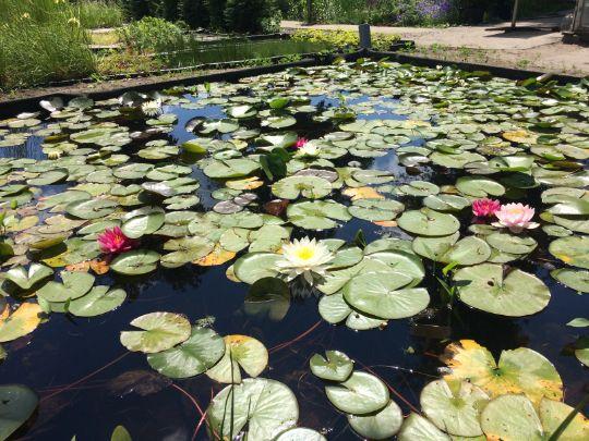 Нимфея водная лилия в пруду