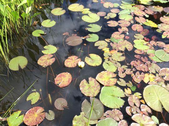Нимфея водная лилия в пруду.