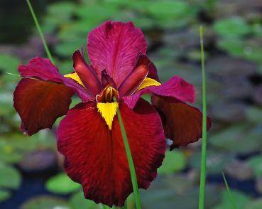 Ирис луизианский Ann Chowning (Iris lousiana Ann Chowning)