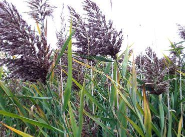 Тростник обыкновенный (Phragmites communis)