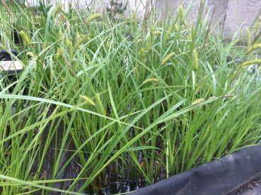 Осока Арнелля (Carex arnellii)