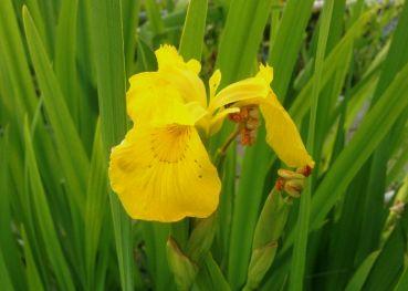 Ирис болотный касатик (Iris pseudacorus)
