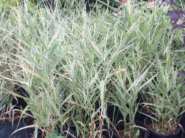 Фалярис тростниковый (Phalaris arundinacea Elegantissima)
