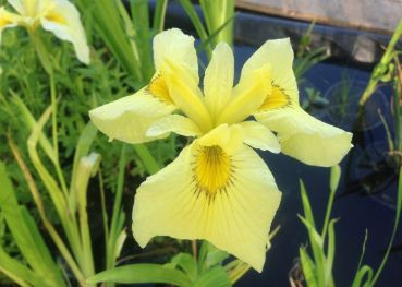 Ирис японский Кимбоши (Iris ensata Kimboshi)