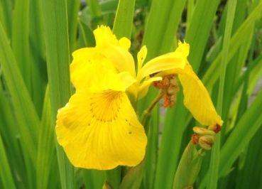 Ирис болотный (Iris pseudacorus)