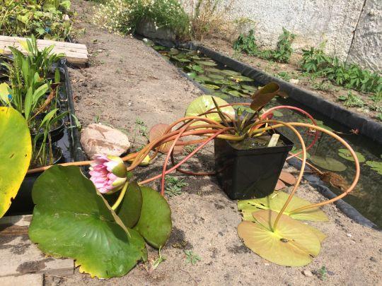 Содержание водной лилии