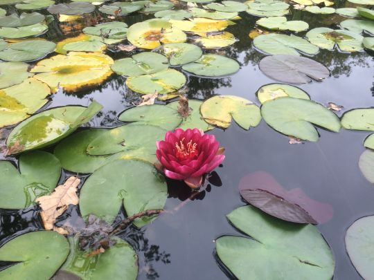 Особенности нимфеи или водной лилии
