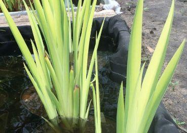 Ирис болотный пестрый  Iris pseudacorus variegatus