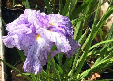 Ирис Кемпфера белый (Iris kaempferi white)