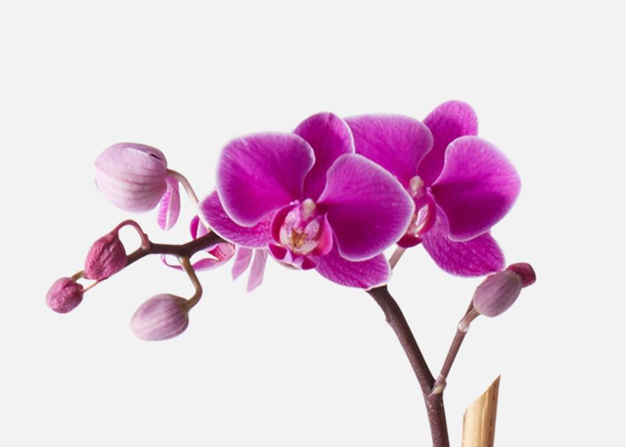 Орхидея фиолетовая - 3