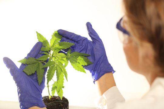 Молодое растение каннабиса на осмотре мед-работника