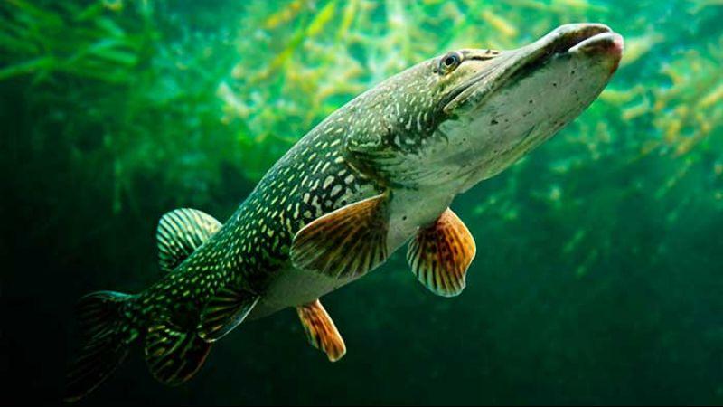 Щука платная рыбалка