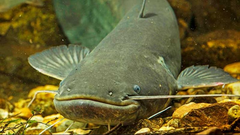 Африканский сом рыбалка