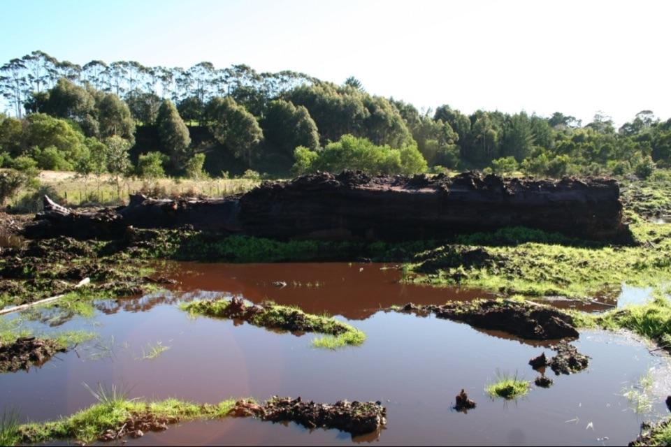 Каури – тысячелетнее ископаемое дерево