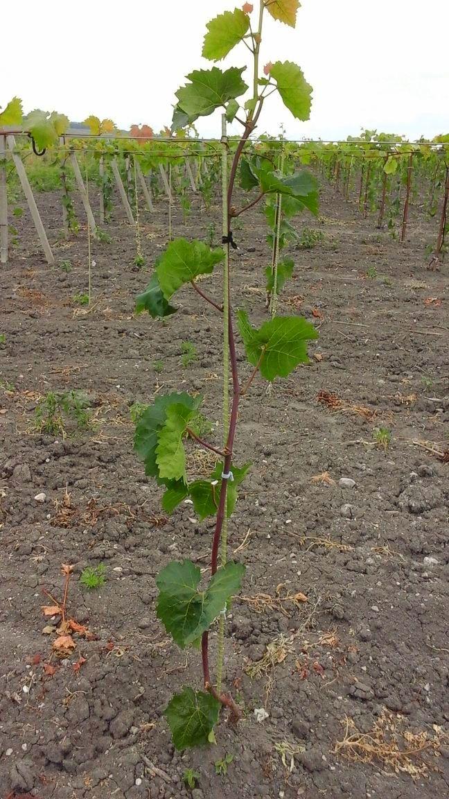 Композитный приштамбовый кол - надежная опора для молодого винограда