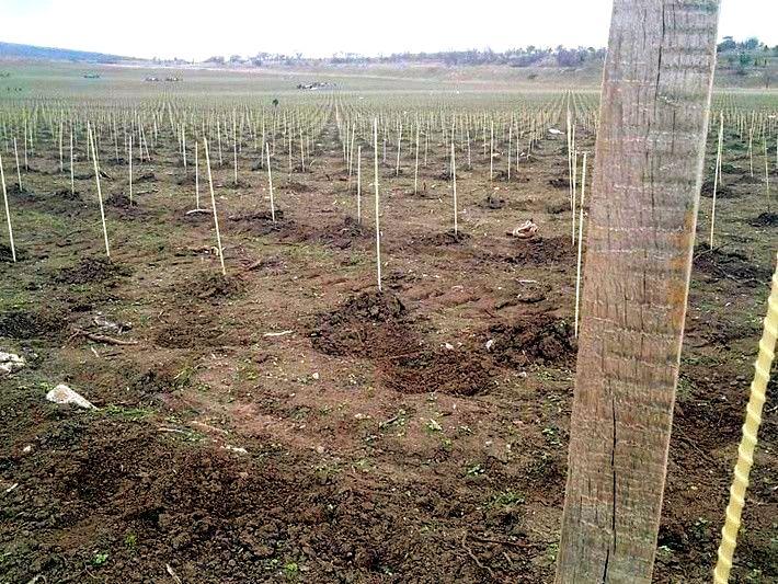 Зарождение виноградника - установка композитных опор